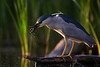 Night heron with crawl fish