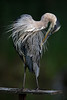 Great blue heron  /  juvenile