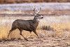 Mule deer on the go