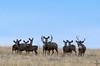Horizon mule deer